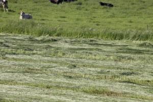 Vacas y campo segado / Aceytuno