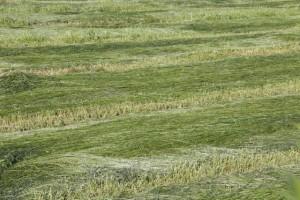 Hierba recién segada con tractor / Aceytuno
