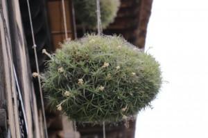 Hierba del aire florecida / Aceytuno