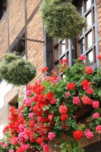 Geranios florecidos y hierbas del aire/ Aceytuno
