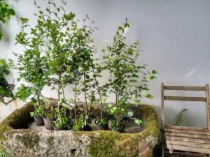 Brinzales de hayas y de abedules que me regalaron para plantar en casa en el Vivero Borrazás y que aún no he decido dónde ponerlos. ¡Qué decisión! Al no moverse después, quizás, con suerte, ¡en siglos!