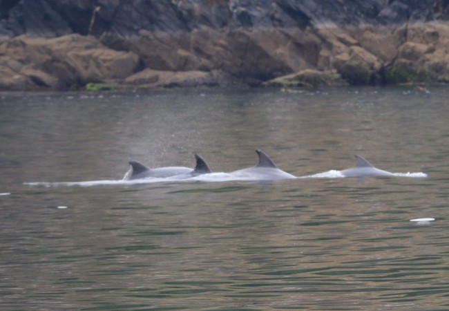 Cuatro delfines