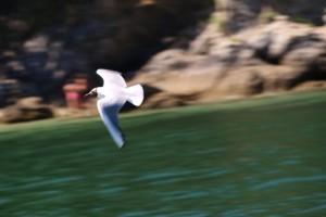 Gaviota reidora en vuelo, ayer por la tarde. Me encanta el color gris dela punta de las alas / Aceytuno