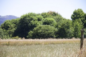 """Camino de mi casa por los campos de hierba con"""" el bosque que hice"""", según dicen mis vecinos, al fondo / Aceytuno"""