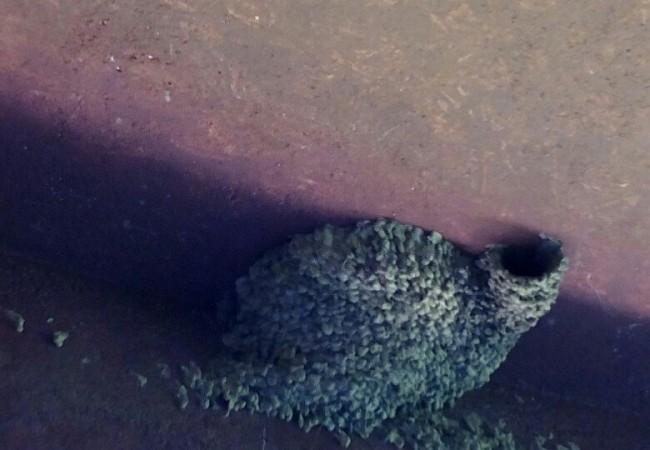 ¿Sabías que las golondrinas dáuricas prefieren, para construir sus nidos, entre todos los materiales, el cemento de los viaductos?