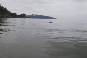 Delfin con su aleta asomando por el agua de estaño / Aceytuno