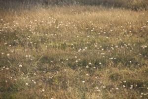 Flores compuestas fructificadas / Aceytuno