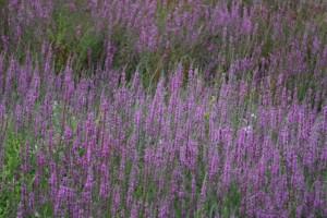 Flores de la orilla / Aceytuno