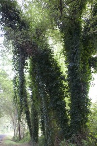 Hiedras encaramadas por los troncos / Aceytuno