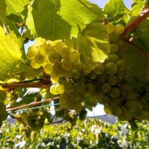 Racimo de uva albariño donde ya se transparente al Sol la pepita / Aceytuno/ Viña DO Ferreiros, 29-8-2016
