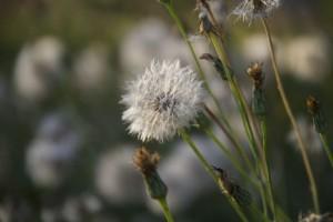 Vilano de flor compuesta el 30-8-2016 / Aceytuno