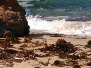 Laminarias en la playa / Septiembre 2016 / Aceytuno