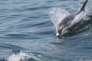 Delfín mular (Tursiops truncatus) / Especie pelágica / Aceytuno