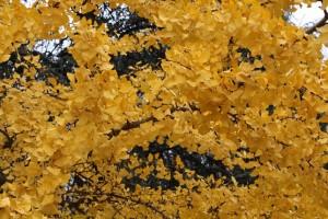 Ginkgo biloga en otoño / Aceytuno