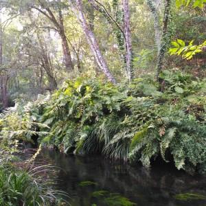 Helechos reales (Osmundo regalis) a la orilla del río / Septiembre, 2016 / Aceytuno