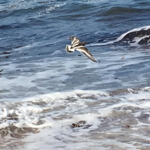 Vuelvepiedras (Arenaria interpres) el 1-9-2016 sobre playa salvaje gallega