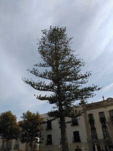 Cerote (Araucaria heterophylla) de Nerja (Málaga) / Aceytuno