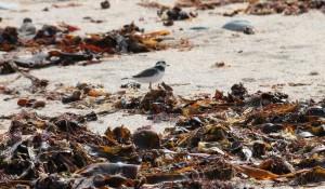 Algas rojas y pardas sobre la arena / Septiembre 2016/ Aceytuno
