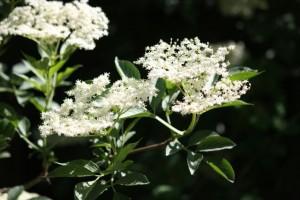 Flores en umbela del sáuco en primavera / Aceytuno