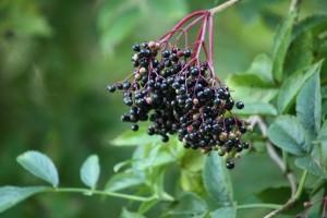 Frutos de saúco (Sambucus spsp.) / Aceytuno