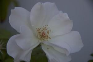 Rosa de otoño / Aceytuno, octubre 2016