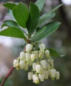 Flores del madroño / Aceytuno