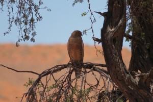 Halcón sobre Acacia erioloba en el desierto del Namib, en Namibia, diciembre 2016 / Aceytuno