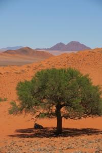 Orix gazella a la sombra de una Acacia erioloba en el desierto de Namib, Namibia, África, diciembre 2016 / Aceytuno