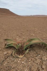 Welwitschia mirabilis / Namibia, diciembre 2016 / Aceytuno