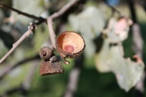Cascabillo de bellota de encina al sol / Aceytuno