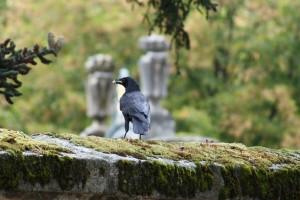 Cuervo / Aceytuno