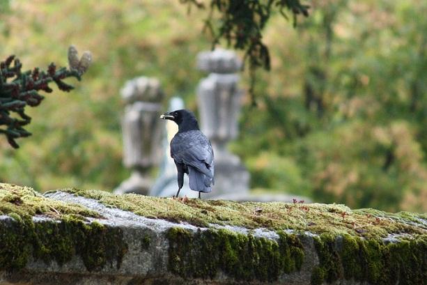 El cuervo que llevó el pan a San Antón