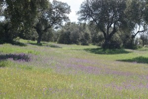 Encinas en primavera con las viboreras florecidas / Aceytuno