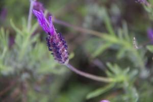 Cantueso en la Sierra de Gata / Aceytuno