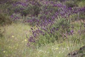 Cantuesos florecidos en la Sierra de Gata / Aceytuno