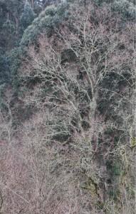 Roble a la orilla del río de los Caballos a una semana de entrar la primavera / Aceytuno