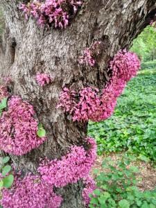 Fenómeno de caulifloria por el que salen las flores del tronco en el Cercis siliquastrum / Abril, 2017 / Aceytuno