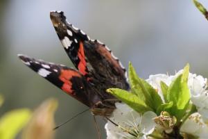 Fimbrias de la Vanessa atalanta sobre flor de ciruelo japonés / Primavera 2017