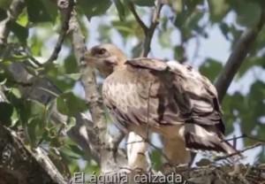 Águila Calzada / Autor: Jesús Giraldo / Exposición cedida para ilustrar el término Águila Calzada definido por Ignacio S. García Dios