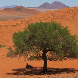 Orix a la sombra de una acacia en el desierto del Namib en Namibia.