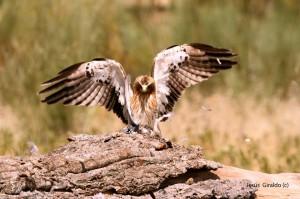 Águila Calzada clara cazando / Autor: Jesús Giraldo