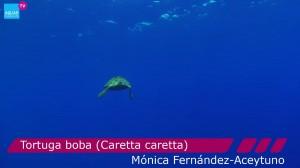 Tortuga boba / Imagen: Fundación Aquae / Rafa Herrero
