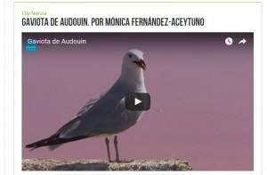 Gaviota de Audouin / Imagen NaturaHdfilms / Efe Verde