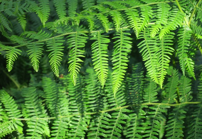 Frondes