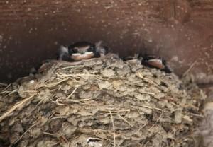 Nido de golondrina común (Hirundo rustica) / Aceytuno