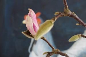 Flor de Magnolia abierta en Madrid en un jarrón con agua el 16 de febrero de 2018