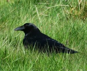 Cuervo sobre la hierba / Aceytuno