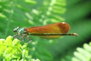 Hembra de Calopteryx virgo casi imposible de distinguir del macho cuando está inmaduro
