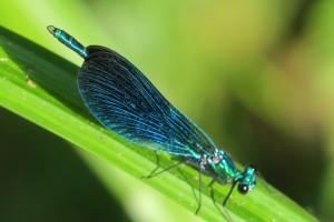 Bella dama o señorita (Calopteryx virgo) macho maduro