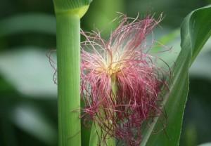 Mazorca de maíz / Aceytuno